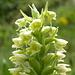 """Hier noch eine Makroaufnahme des Blütenstandes des Weißzüngel """"pseudorchis albida"""" einer heimischen unscheinbaren Orchideenart (Knabenkraut), die auf alpinen Magerheuböden gedeiht."""