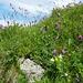 """Alpen Süßklee """"hedysarum hedysarioides"""""""