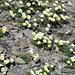 Blumen im Bergsommer II