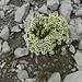 36 Fast unglaublich aber wahr. Am Gipfel hat's ein lebendes Blumensträußchen.