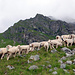 Schafe im Unter Hüfi.