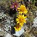 Buntes Empfangsbouquet aus Haus- und Gemswurz oberhalb der Domhütte
