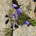 Leuchtende Glockenblumen am Klettersteig