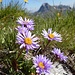 Alpen-Aster (Aster alpinus)