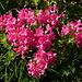 Alpenrose - es hat immer noch einzelne Büsche