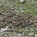Steinbock Gruppenfoto. Ich glaube sie waren alle drauf, und ich habe insgesamt 51 Tiere gezählt!