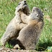 marmot wrestling