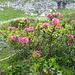 ...die Alpenrosen schon am Verblühen