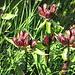Purpurenzian vor der Blüte