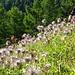 Strubline - verblühte Anemonen
