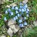 Zierliche Glockenblume (Campanula chochleariifolia)