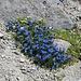 Blaue Blumenpracht in der Steinwüste