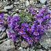 Blumenpracht in der Steinwüste!