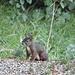 Ein süsses Kerlchen. Eichhörnchen auf der Suche nach Nüssen