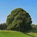 """der schöne """"Winterbaum"""" ist im Sommer auch sehr schön, siehe auch: gleicher Baum im  Winter, [https://www.hikr.org/gallery/photo3062623.html?user_login=erico&photo_order=photo_pop Zauberbaum]"""