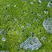 Isländisches Moos – ein Kunstwerk für sich! (Foto [U sglider])