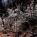 Iilex aquifolium (riflessi del sole sulle foglie) aranno 07 02 2020