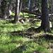 "Der grasige Wald vor dem ""Gipfelaufbau""."