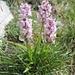 erste Orchideen ...