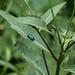 Das könnte ein Ampfer-Blattkäfer sein, auch Grüner Sauerampferkäfer (Gastrophysa viridula).