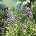 ... vorbei an blühendem Alpen-Huflattich ...