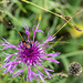 Auf einer Flockenblume sitzt ein Widderchen (Gattung Zygaena). Aber welche Art genau?