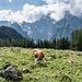 ... Watzmannblick: so lassen wir's uns hier gutgehen. Genau wie diese nicht ganz so einsame Kuh neben der Alm.