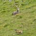 Fuorcla Murter, ein Bild mit zwei (!) Tierarten