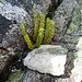 aus Ritzen spriessen überall Pflanzen (Alpen-Flachbärlapp)