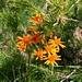 richtig orange Blumen