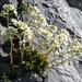 Steinbrech auf dem Lysengrat