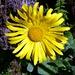 Auf dem Lysengrat - Grossköpfige Gemswurz (Doronicum grandiflorum). Eben auch Laponia41 sei Dank!