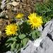 Auf dem Rotsteinpass - Grossköpfige Gemswurz (Doronicum grandiflorum). Danke Laponia41 !