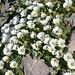 Blumen auf dem Altmannsattel