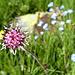 Alpenlattich (Homogyne alpina), mit Dank an [u CampoTencia]. Sonst hätten wir keine Ahnung gehabt.