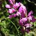 Südalpen-Kreuzblume (Polygala pedemontana)