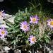 exemplarisch für die Blumenpracht: die Alpenastern