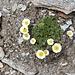 <b>La sterminata distesa di pietre è ingentilita dalla presenza di cespi di ranuncolo dei ghiacciai (Ranunculus glacialis).</b>