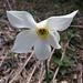 Langensee-Narzisse (Narcissus verbanensis)