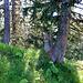 Dans la forêt, une ancienne trace de balisage datant du siècle passé.