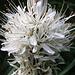 Weißer Affodill (Asphodelus albus) - Eine weitere botanische Rarität
