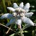 Edelweiss 1 (Leontopodium alpinum). Im Zentrum vier Blüten - darum herum neun Lockblätter.