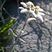 Edelweiss 2 (Leontopodium alpinum)
