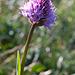 Kugelorchis (Trausteinera globosa)