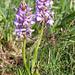 Kleine Orchidee auf dem Furggegütsch - wahrscheinlich eine Gymnadenia