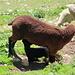 Herziges und Tragisches liegen nahe beieinander. Beim Abstieg vom Hauptgipfel fand ich ein Lamm weit abseits der Herde, das offensichtlich zu schwach zum aufstehen war. Ich verständigte eine offizielle Stelle und machte kurze Zeit später die Schafbesitzer ausfindig, damit sie sich um das Lamm kümmern sollen.
