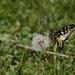 Kapriziöser Schwalbenschwanz