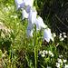 Weiße Glockenblume.