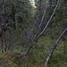 Weglos steige ich durch den Wald in s. Richtung hinauf