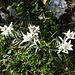 Am Vanil d'Orseire blühen sie zu Hunderten.